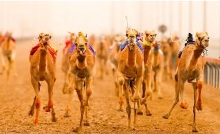 Standard, VIP or VVIP Camel Racing Ticket with Meal at Dubai Royal Camel Racing Club.